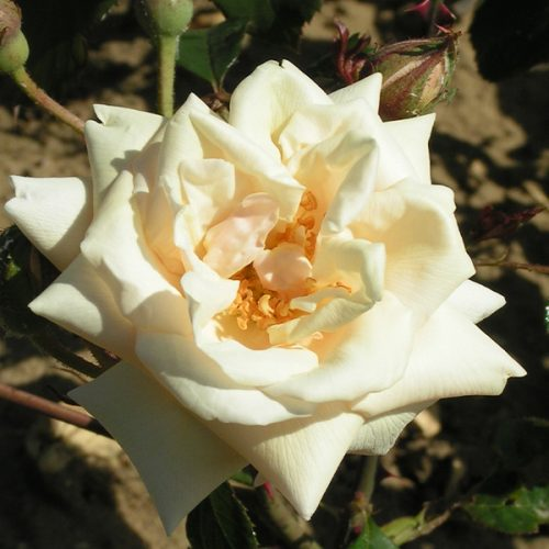 Bouquet d'Or - Cream Climbing Rose