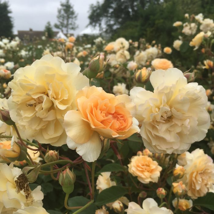 Buff Beauty - Hybrid Musk Rose