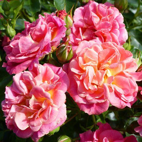 Cambridgeshire - Pink Ground Cover Rose