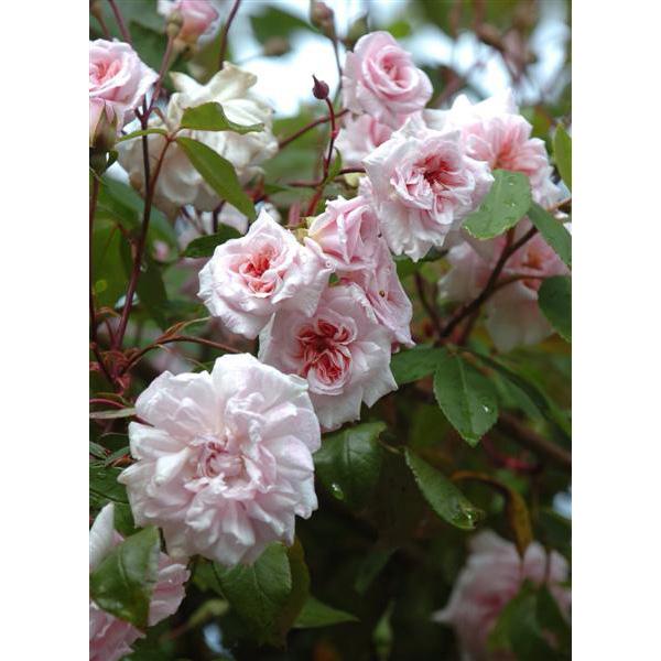 Cecile Brunner - Pink Climbing Rose
