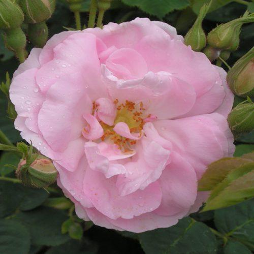 Celestial - Pink Alba Rose