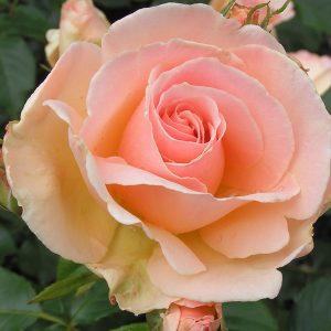 Chandos Beauty - Bush Rose