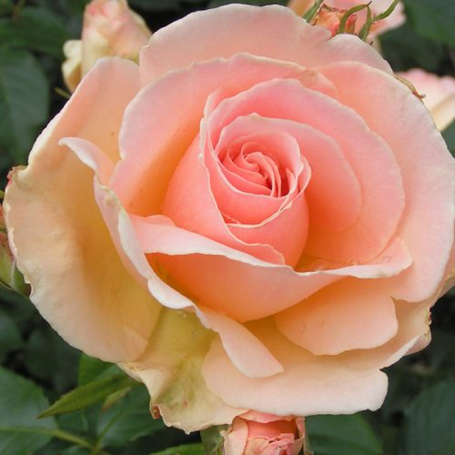 Chandos Beauty - Bush Rose