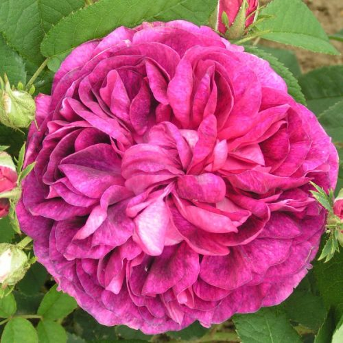 Charles de Mills - Red Gallica Rose