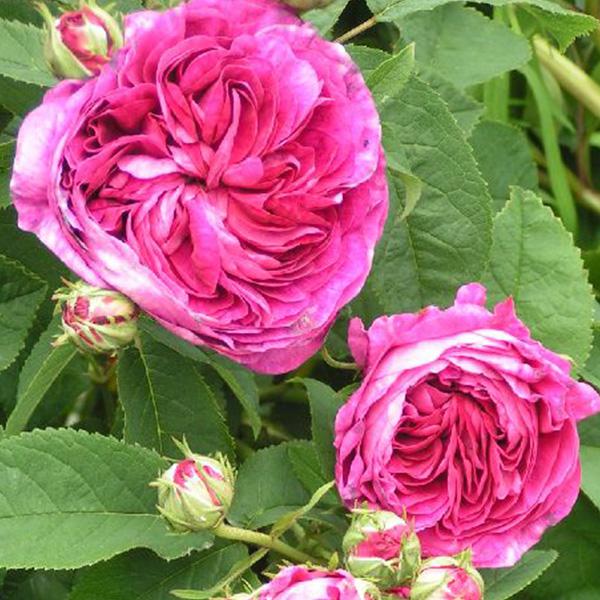 Charles de Mills - Red Gallica Rose