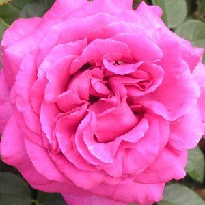 Chartreuse de Parme - Pink shrub Rose