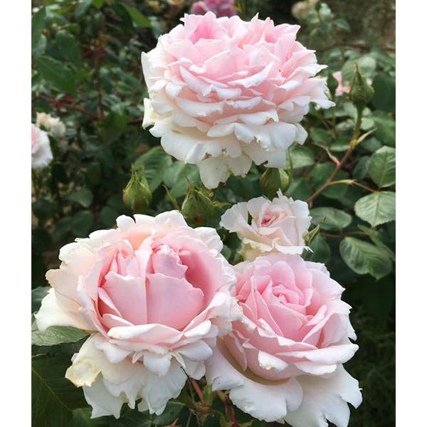 Chloe - Pink Renaissance Rose