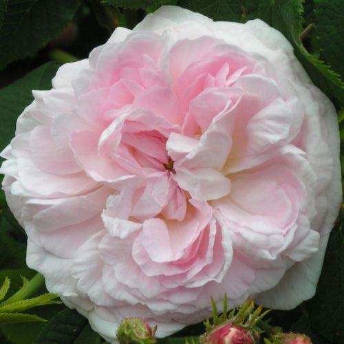 Chloris - Pink Alba Rose