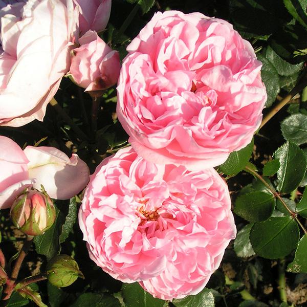 Cinderella - Pink Climbing Rose