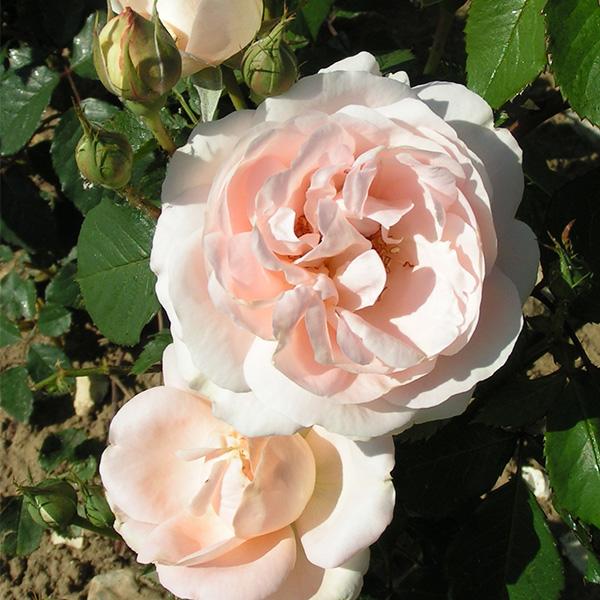 Claire - Pink Renaissance Rose