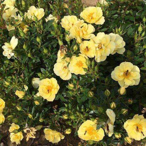 Clear Cover - Yellow Ground Cover Rose