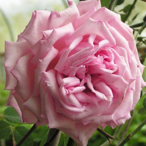 Columbia - Pink Climbing Rose
