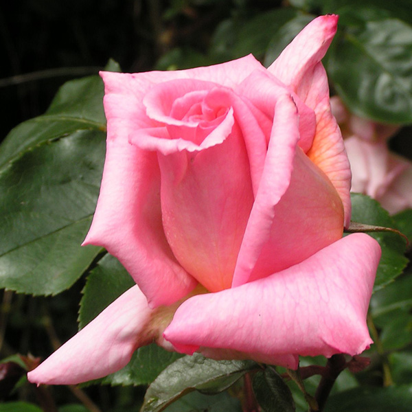 Compassion - Pink Climbing Rose