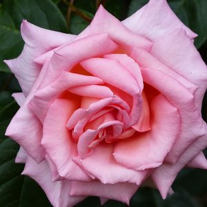 Compassion - Climbing Fragrant Rose
