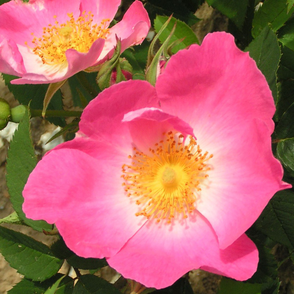 Complicate - Pink Gallica Rose