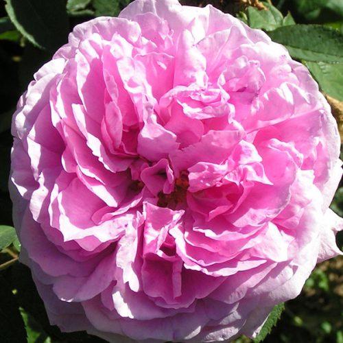 Comte de Chambord / Mme Boll - Pink Damask Rose