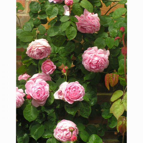 Contance Spry - Pink Shrub Rose