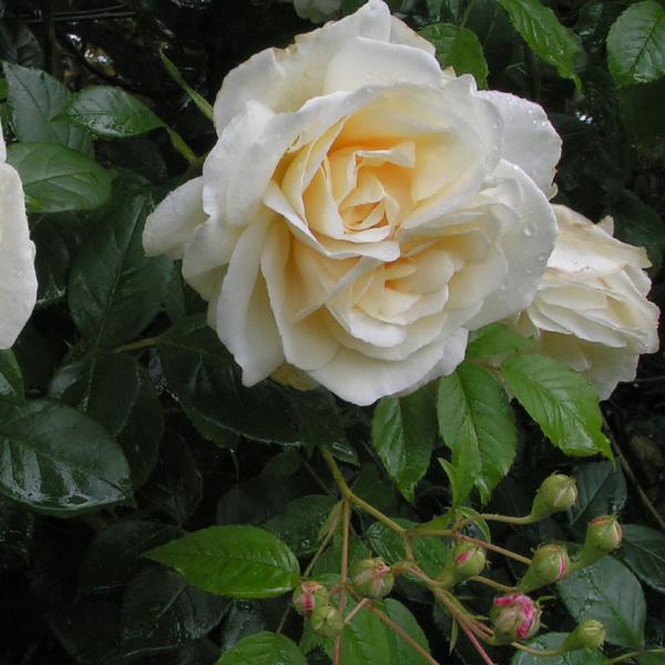 Creme de la Creme - White Climbing Rose