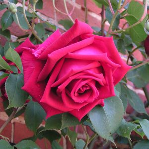 Crimson Glory - Climbing ROse