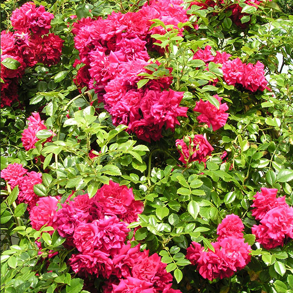 Crimson Showers - Red Rambling Rose