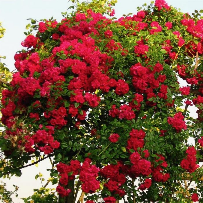 Crimson showers is a beautiful rich red rambling rose.