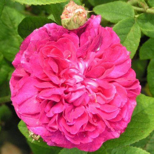 D'agusseau - Gallica Rose
