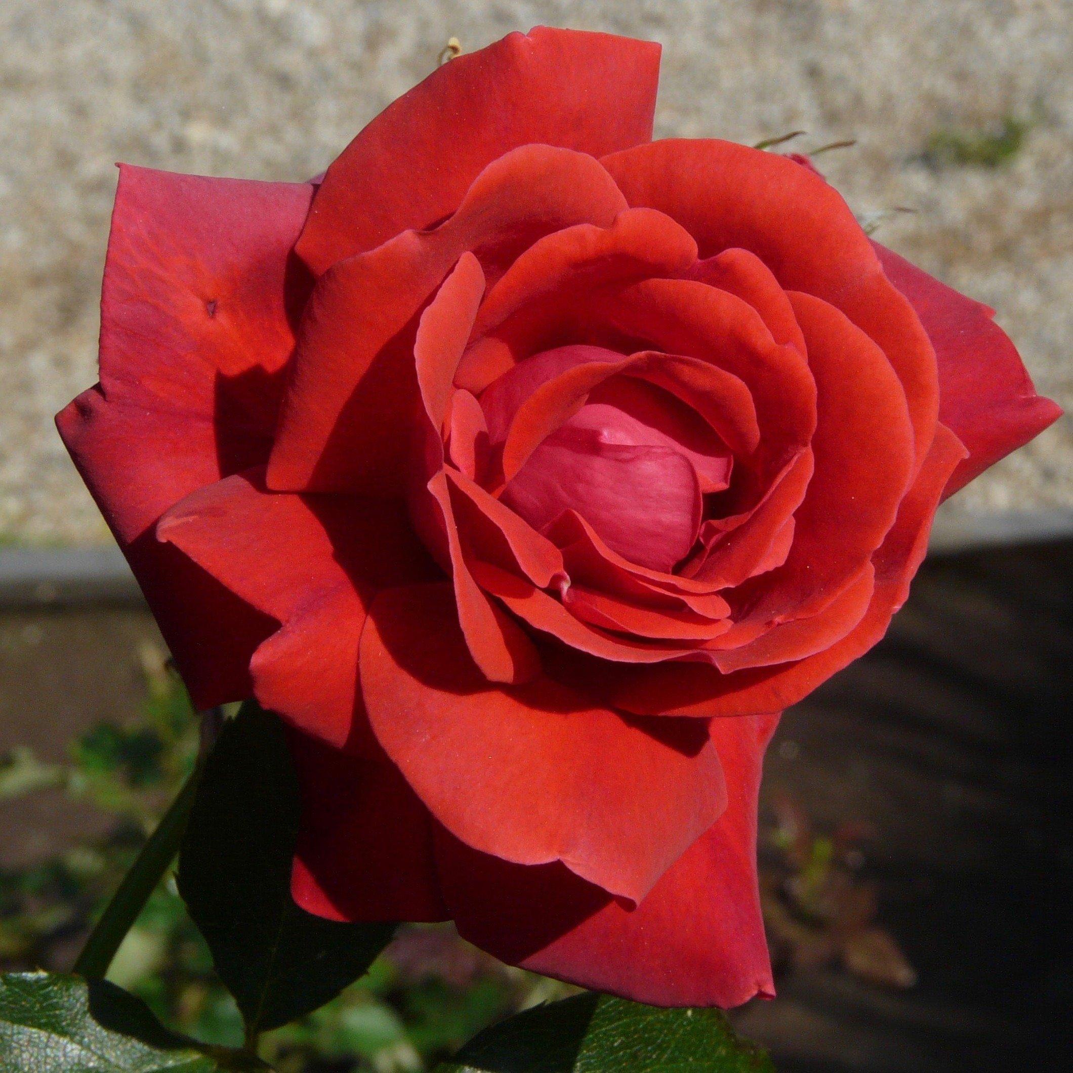 danse du feu a red climbing rose