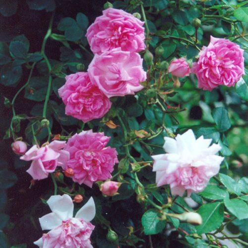 Debutante - Pink Rambling Rose