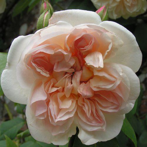 Desprez a Flears Jaunes - Climbing Rose