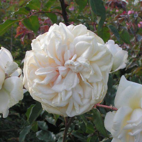 Devoniensis - Climbing Rose
