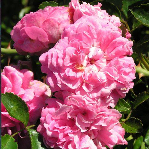 Dorothy Perkins - Pink Rambling Rose