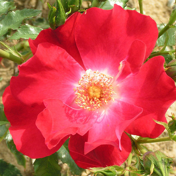Dortmund - Red Rambling Rose
