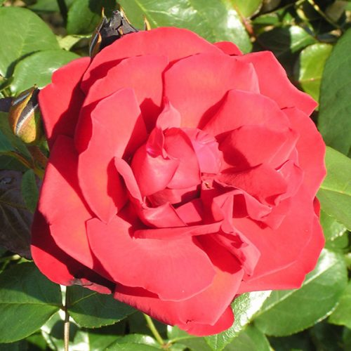 Dublin Bay - Red Climbing Rose