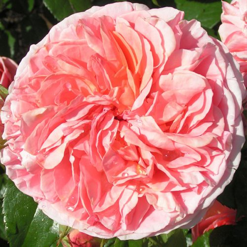 Duchess of Cornwall - Nostalgic Rose
