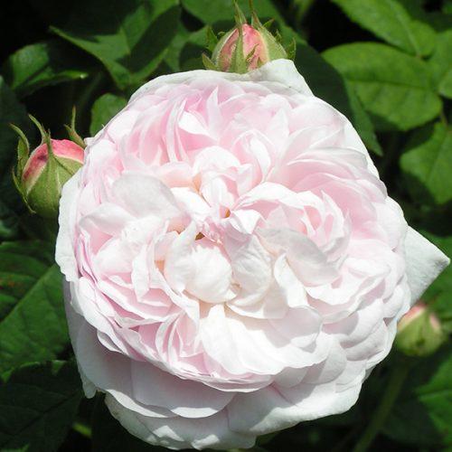 Duchesse de Montebello - Pink Gallica Rose