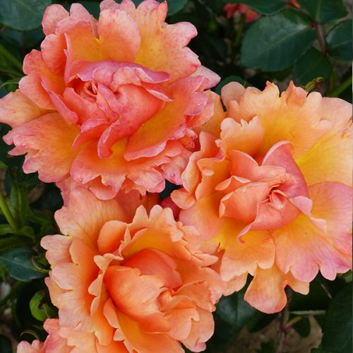 Easy Does It - Orange Bush Rose