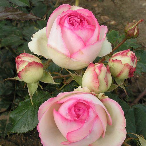 Eden Rose 88 - Pink Climbing Rose