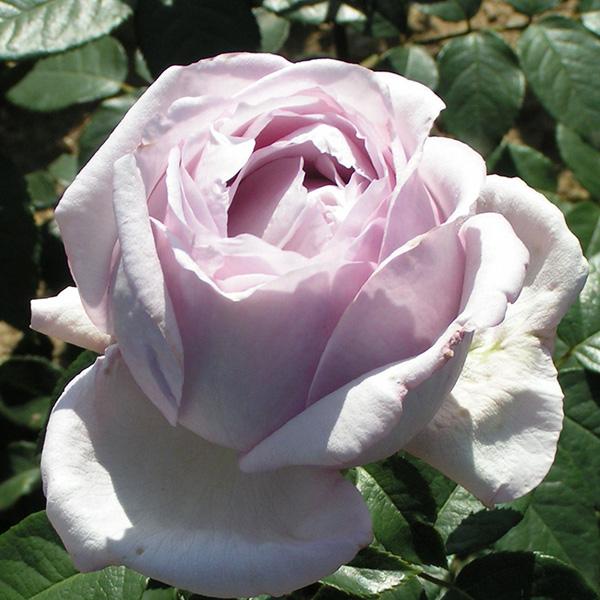 Eleanor - Lilac Renaissance Rose