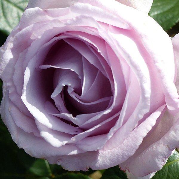 Eleanor Rose - Lilac Renaissance Rose