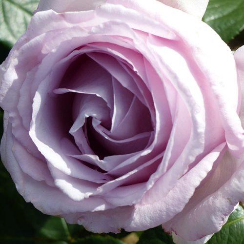 Eleanor - Renaissance Rose