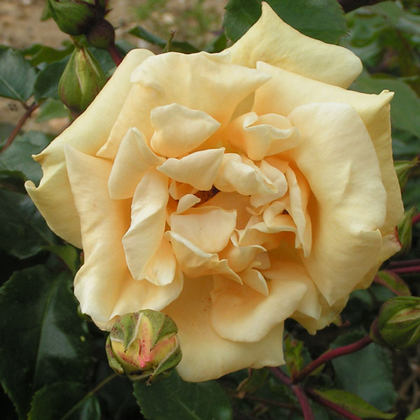 Emily Gray - Yellow Rambling Rose