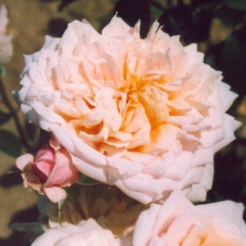 English Garden - David Austin Rose