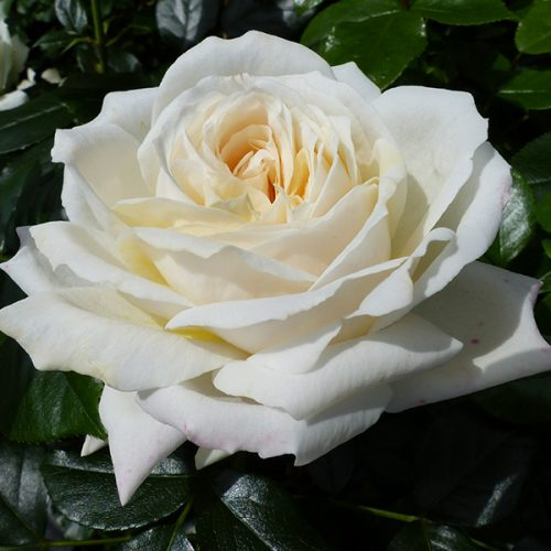 Esme - Cream Bush Rose