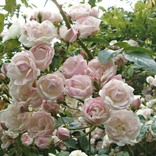 Ethel - Pink Rambling Rose