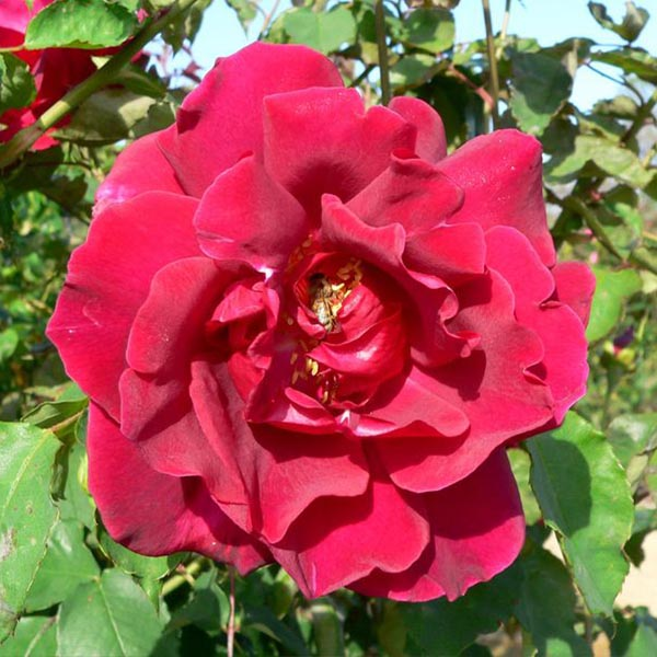Etoile de Hollande - Red Climbing Rose