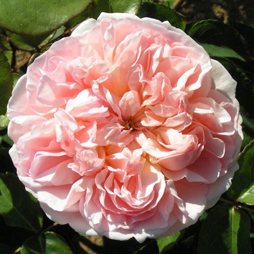 Evelyn - David Austin English Rose