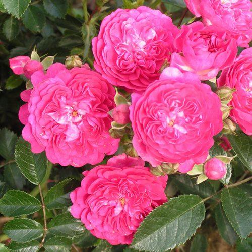 Excelsa - Pink Rambling Rose
