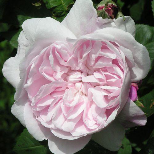 Fantin Latour - Pink Centifolia Rose