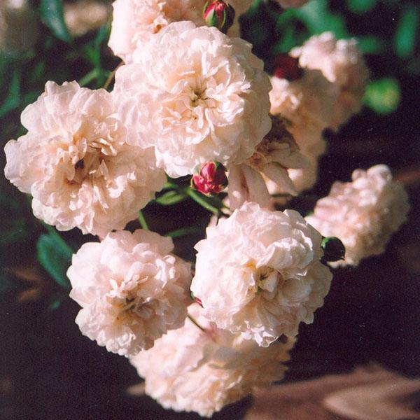 Felicite et Perpetue - Rambling Rose