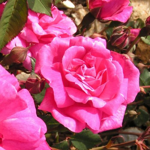 Fellemberg/ La Belle Marseillaise - Pink China Rose